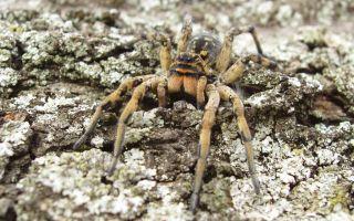 Паук мизгирь (южнорусский тарантул) – фото и описание