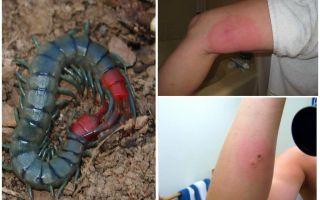 Домашняя сколопендра – фото и описание, чем опасна для человека