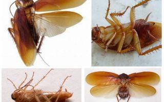 Летающие тараканы, летают или нет домашние тараканы