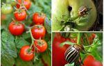 Как бороться с колорадским жуком на помидорах