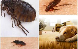 Крысиные блохи и как избавиться от них в квартире