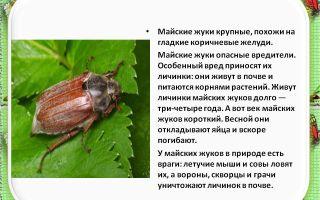 Майский жук – фото и описание, сколько живет жук хрущ