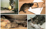 Борьба с крысами в домашних условиях народными средствами