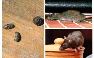 Как избавиться от крыс в квартире в домашних условиях