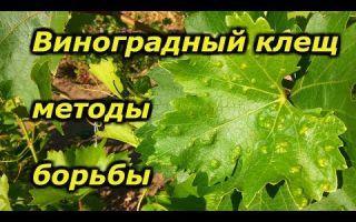 Виноградный клещ — методы борьбы и препараты