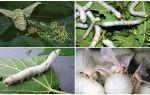 Гусеница и бабочка тутового шелкопряда – фото и описание