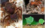 Муравьи атта – фото и описание