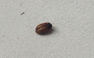 Маленькие коричневые жучки в квартире – фото и названия