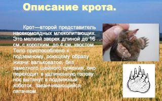 Животное крот – описание и образа жизни