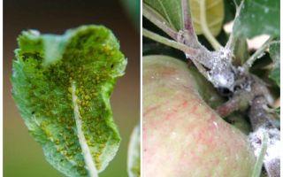 Тля на яблоне — как бороться и чем обработать