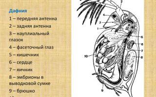 Дафния – водяная блоха фото и описание