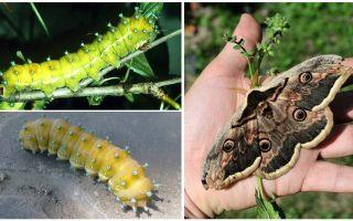 Гусеница павлиний глаз – фото и описание