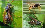 Бумажные осы – фото и описание, методы избавления
