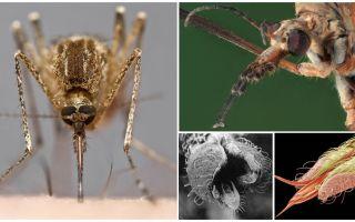 Сколько зубов у комара