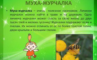 Муха журчалка – фото и описание