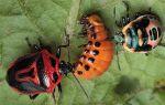 Кто ест колорадского жука