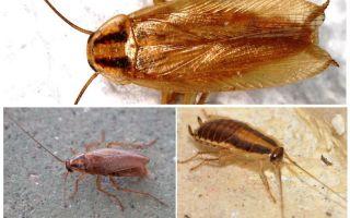 Рыжий таракан прусак: фото, описание, образ жизни