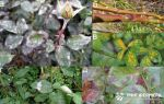Болезни и вредители роз – фото, описание и лечение