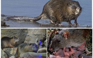 Водяная крыса – фото и описание