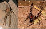 Бразильский странствующий паук – фото и описание