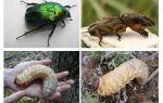 В чем отличие личинки майского жука и медведки — фото и описание