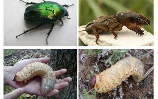 В чем отличие личинки майского жука и медведки – фото и описание