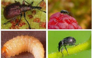 Малинно-земляничный долгоносик: к какому отряду относится, фото, стадии развития и условия обитания