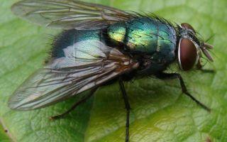 Зеленая муха – фото и описание