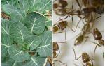 Что делать если муравьи едят капусту