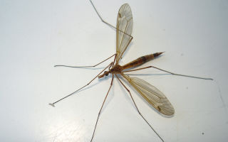 Большие комары-долгоножки