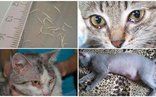 Аскариды у кошек – симптомы и лечение, фото
