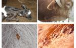 Вши у коровы – фото и лечение