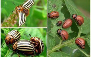 Откуда взялся колорадский жук в россии
