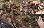 Паук птицеед-голиаф – фото и описание