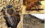 Как избавиться от земляных пчел на участке