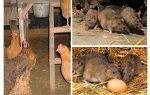 Как избавиться от крыс в курятнике