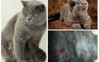 Как вывести блох у британского кота, кошки и котят