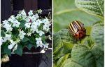 Душистый табак от колорадского жука – отзывы, действие и применение