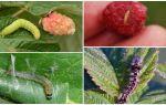 Чем и как бороться с гусеницами на малине