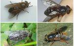 Насекомое слепень – фото, виды и подробное описание
