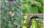 Можно ли травить колорадских жуков, когда цветет картошка
