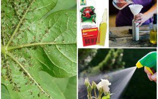 Фитоверм от тли на смородине, яблоне, розах