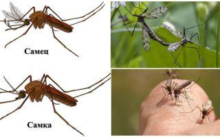 Чем питаются самцы и самки комаров