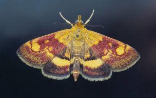 Бабочка огневка – фото и описание