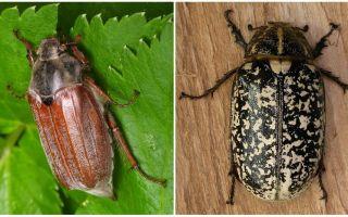 Что едят майские жуки в домашних условиях и в природе