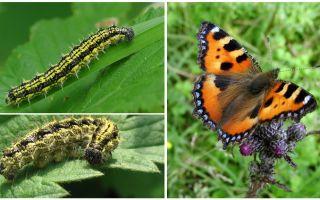 Гусеница крапивницы – фото и описание