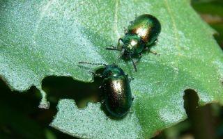 Жуки листоеды – как бороться, фото и описание вредителей