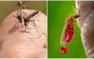 Сколько раз может кусать один комар