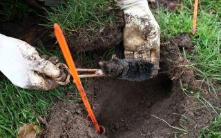 Как избавиться от мышей на даче и огороде