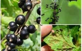 Как избавиться от муравьев и тли на смородине